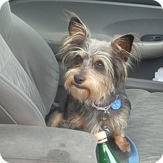 Santa Monica, CA - Yorkie, Yorkshire Terrier Mix. Meet Indy a Dog for Adoption.