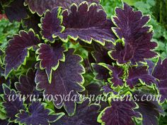 """Coleus 'Apocalypse' (medium 12""""-18""""; upright)  Deeply-scalloped deep purple leaves are rimmed with a highly contrasting bright green.  The leaves have a rich, velvety appearance. Very striking! Sun tolerant."""