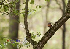 Gimpel / Dompfaff (Pyrrhula pyrrhula) im Wald. Wer mehr über Singvögel erfahren möchte und wie Sie sich anhören erfahrt Ihr unter: http://www.schule-bw.de/…/faecher/biologie/bild/tiere/voegel #gimpel #dompfaff #singvögel #fotografie #fotografia #photography #bayern #kolbermoor #bruckmühl #rosenheim #natur  Mehr von mir gibts auf folgenden Webseiten. Viel Spaß beim Anschauen. http://bereit-videofilm.de/