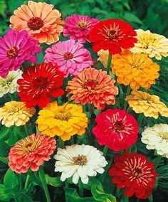 IMG_4754.JPG] | Gardening | Pinterest | Zinnias, Flowers and Flowers on