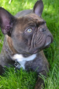 5280 French Bulldogs 5280 Newton 303-955-7876 www.5280frenchbulldogs.com
