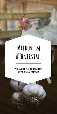 Milben bei Hühnern kannst Du mit einer guten Hygiene-Routine & natürlichen Hausmitteln effektiv vorbeugen und behandeln. Kräuter wie Knoblauch und Thymian stärken die Abwehr Deiner Hühner und vertreiben lästige Ektoparasiten wie die Rote Vogelmilbe. Ein gekalkter Stall oder flüssige Kieselgur schützen vor einem Befall.