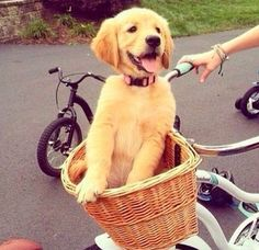 I want a new bike like this and a cute golden pup to sit in it