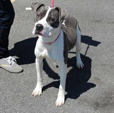 SAFE Staten Island CHAMP A0962662 MALE, WHITE/GRAY PIT MIX,3 yrs  Champ is a lovable goof who is volunteer favorite. He's adorable, energetic, LOVES to play ball & affection. Champ's been in the shelter system for weeks now & in an effort to help him find his special person, he's been transferred to the SIC. This gorgeous boy is now sitting in the adoptions waiting for his forever home ♥ https://www.facebook.com/photo.php?fbid=600524779960405=a.161896980489856.39457.152876678058553=3