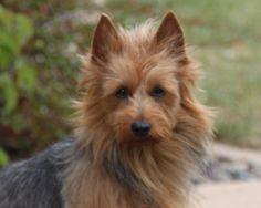 Australian Terrier :)