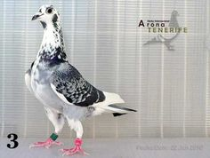 Cute Pigeon, Pigeon Bird, Pigeon Pictures, Homing Pigeons, Pigeon Loft, Birds 2, Chevy Impala, Khalid, Bird Watching