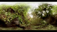 360° Kissed By A Wild Mountain Gorilla (Virtual Reality 'Selfie' Video)