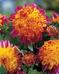 boogie woogie powder puff anemone dahlias - wow that is a mouthful but that's what they'r4e called - supposed to be easy to grow - sold!