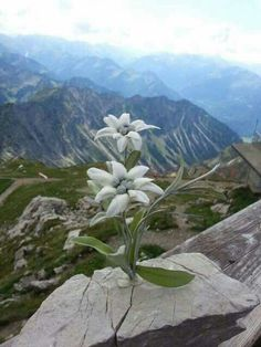 Imagini pentru floare de colÈ› poze