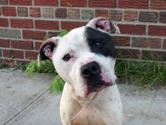 TO BE DESTROYED 6/8/14  Brooklyn Center -P   My name is MIKE. My Animal ID # is A1001724.  I am a male white and black pit bull mix. The shelter thinks I am about 6 YEARS old.   I came in the shelter as a STRAY on 06/01/2014  ***HANDSOME, MATURE BOY!!!. Mike pulls on the leash and was sociable toward the handler during the assessment - soft body. He was relaxed during handling,  Seems to like people & dogs. Some food/ bone guarding common w/ strays (survival) -RETRAINABLE!