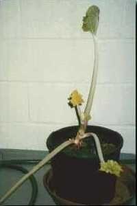Het is mogelijk om 's winters verse, zachte rabarberstelen in huis te halen. Dit doen we door de planten te forceren. Er zijn twee methodes : in een verwarmde ruimte of ter plaatse in de tuin. Als we binnenshuis willen forceren graven we enkele wortels op van minstens drie jaar oude planten.  Laat er voldoende aarde aan en plant ze op in grote potten.  Laat ze dan een koudeperiode  buiten doormaken.   Vanaf januari kunnen de planten dan binnengebracht worden. Wil je al starten in december…