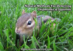Natural Methods For Deterring Chipmunks & Squirrels Garden Bugs, Garden Pests, Lawn And Garden, Chipmunk Repellent, Get Rid Of Chipmunks, Get Rid Of Squirrels, Natural Mosquito Repellant, Pet Cage, Shade Garden