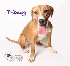 P-Dawg is a beautiful outgoing Boxer mix. She was found romping the streets by a very nice lady who took her home, and then brought her to St. Tammany Humane Society. Being a young adult she is still very puppy like and is very excited to learn. She is on the search for a fun loving, outgoing family who likes to be outside and exercising.