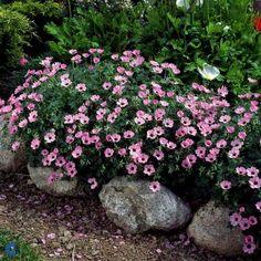 Storkenæb - Geranium cinereum Ballerina 10-15 cm lav staude. Blomstrer i juni-september måned. Små rosarøde blomster. 9 pr. kvm. Trives i sol/halvskygge. Vokser i god næringsrig og veldrænet havejord. Middeltvoksende, bunddækkende og fuldt hårdfør staude.