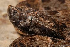 Fer-de-lance (Bothrops atrox) found in Iwokrama, Guyana.