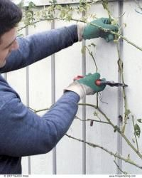 Pruning Climbing Roses – FineGardening – Famous Last Words