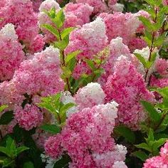Vanilla Strawberry Hydrangea: