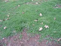 seeding your lawn with yarrow instead of grass