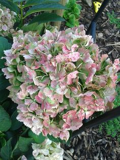White Hydrangea Flower Head Turning Pink With Images White Hydrangea Hydrangea Flower Hydrangea