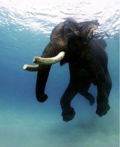 elephants keeping cool | ... In Photos: Rajan the Last Swimming Bull Elephant, by Jody MacDonald