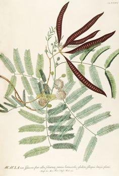 Georg Dionysus Ehret, Acacia illustration for Plantae selectae quarum imagines ad exemplaria naturalia Londiniby Christoph Jacob Trew, 1750-73. London. Via BHL