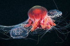 The Jellyfish Cyanea capillata feeds on Moon Jellies (Aurelia aurita), in the White Sea off the North Coast of Siberia, Russia / (photo by Alexander Semenov) Underwater Photographer, Underwater Photos, Underwater World, Jellyfish Images, Lion's Mane Jellyfish, Medusa, Beautiful Creatures, Animals Beautiful, Deep Sea Creatures