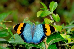 Golden banded Forester(Euphaedra neophron neophron) photographed by Pingchung Lee at Manguzi, Kwazulu-Natal, S.Africa