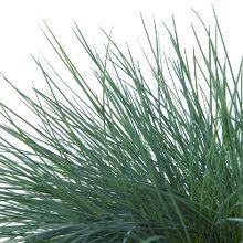Green Lifestyle Store Tuinplant Festuca Glauca 'Intense Blue'
