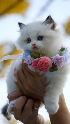Baby Pugs, Cute Baby Cats, Cute Cats And Kittens, Cute Baby Animals, Kittens Cutest, I Love Cats, Cutest Cats Ever, Adorable Babies, Beautiful Babies