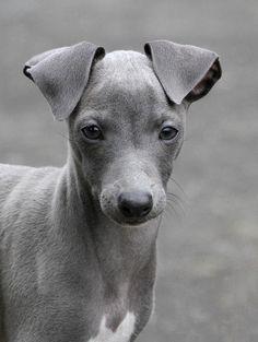 italian greyhound - Google Search