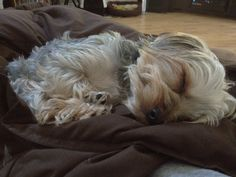 Yorkie dog Eli looks like such a sweet angel when he is sleeping!!!!  #puppy #yorkshire terrier www.fetchdogfashions.com