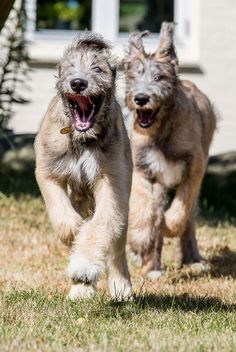 People Publish Funny Photos of Irish Wolf Wolves and How Big are They? Cute Dogs Breeds, Dog Breeds, Irish Wolfhound Puppies, Irish Wolfhounds, Whippet Puppies, Irish Terrier, War Dogs, Mundo Animal, Funny Dogs