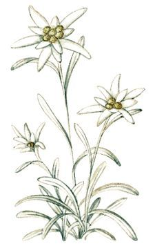 Botany Edelweiss flower extract is found in every product from Arise, offering skin care an anti-agi Plant Illustration, Botanical Illustration, Edelweiss Tattoo, Wolf Sleeve, Alpine Flowers, Just Ink, Botanical Tattoo, Flowers Nature, Future Tattoos