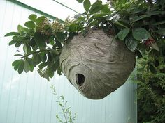 What a beautiful home!  Yellowjacket's Nest by mushroomvillagers, via Flickr