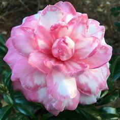 Camellia japonica 'Lallarook'. #camellia #flowers #garden #horticulture #landscape #savannah #camellias www.genesnursery.com