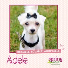Sassy little Adele from Romp Italian Greyhound Rescue will make you appreciate the finer things in life, like bows & kisses!  [Hugable. Lovable. Adoptable!]