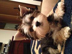 Bennett like -- Morkie love! Maltese Yorkie Mix, Morkie Puppies, Cute Puppies, Cute Dogs, Dogs And Puppies, Cutest Animals, Funny Animals, Dog Love, Puppy Love