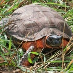 Three species of turtles in Maine petitioned for Endangered Species Act protection