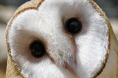 owl eye - Yahoo Search Results Yahoo Image Search Results