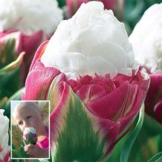Ice Cream Tulip. http://www.brecks.com/product/Ice_Cream_Tulip