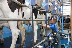 Samen met boer Gerard de melkput in om de koeien te melken.