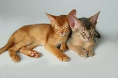 abyssinian cat | Abyssinian Cats