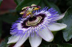 passion flower 17 September 2016