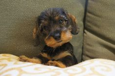 Willow Springs Dachshunds, breeder of miniature wirehaired dachshunds