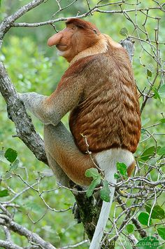 One of Borneo's most famous endemic mammals, the Proboscis Monkey is restricted to coastal swamp forests and mangroves. This large male is foraging in one of their most favored food species, Sonneratia alba.