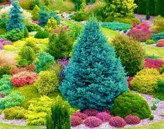 Эти хвойные растения идеальны для вашего сада