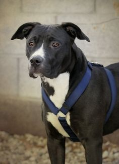 Here are some suggestions from Holidayinsights.com on how to remember your… Black Pitbull Puppies, Pitbull Dog Breed, Dogs And Puppies, Doggies, Nanny Dog, Dog Mom, Pit Bulls, Black And White Pitbull, American Pitbull Dog