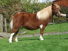 Halstock Juniper - Shetland Pony mare (likely also slipped or skewed)