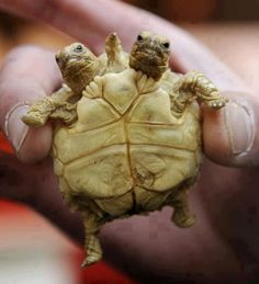 Funny Wildlife, funnywildlife: Two-headed five-legged baby turtle