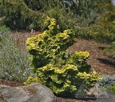 Chamaecyparis obtusa ' Verdoni' can become a wonderful golden sculpture in the garden, complementing other conifers and ornamentals. Description from coniferlover.wordpress.com. I searched for this on bing.com/images